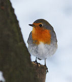 Robin / Erithacus rubecula. An adult of robin  in winter Stock Photos