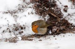 Robin - Erithacus rubecula Stock Photography