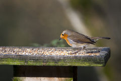 Robin (Erithacus rubecula) Royalty Free Stock Image