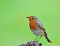 Robin (Erithacus rubecula). Robin in the host with a green background Royalty Free Stock Photography