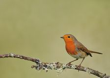 Robin (Erithacus rubecula). Robin perched on a branch of a tree with lichens Royalty Free Stock Image