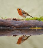 Robin (Erithacus rubecula). Robin reflected in the fountain Royalty Free Stock Photography