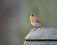 Robin (Erithacus rubecula) Stock Photos