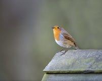 Robin (Erithacus rubecula) Stock Photos