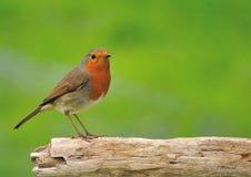 Robin ( Erithacus rubecula ) Stock Photography