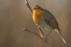 Robin (Erithacus rubecula) Lizenzfreies Stockfoto