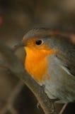 Robin (Erithacus rubecula) Lizenzfreie Stockfotografie