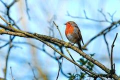 Robin (Erithacus rubecula) stockbilder