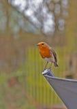 Robin, Erithacus Rubecula Στοκ εικόνα με δικαίωμα ελεύθερης χρήσης