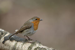 Robin, Erithacus-rubecula Royalty-vrije Stock Afbeeldingen