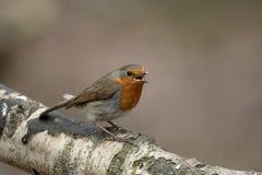 Robin, Erithacus-rubecula Stock Foto's