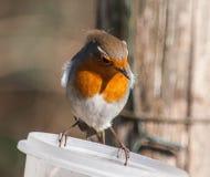 Robin Erithacus-rubecula stock fotografie
