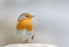 Robin (erithacus rubecula) Royalty Free Stock Photos