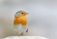 Robin (Erithacus rubecula) Lizenzfreie Stockfotos