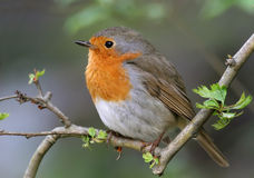 Robin (erithacus rubecula) Stock Images