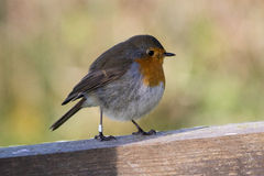 Robin. (Erithacus rubecula) in the autumn on Island Öland, Sweden Royalty Free Stock Photo
