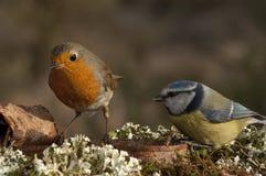Robin - Erithacus rubecula and Blue tit, Cyanistes caeruleus stock image