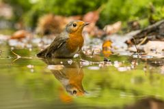 Robin, Erithacus rubecula, cute songbird. Erithacus rubecula, the Robin is a cute bird with a red chest royalty free stock images