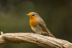 Robin, Erithacus rubecula, cute songbird. Erithacus rubecula, the Robin is a cute bird with a red chest royalty free stock image