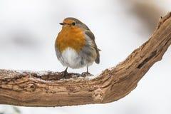 Robin, Erithacus rubecula, cute songbird. Erithacus rubecula, the Robin is a cute bird with a red chest stock images