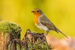Robin, Erithacus rubecula, cute songbird. Erithacus rubecula, the Robin is a cute bird with a red chest royalty free stock photo