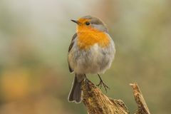 Robin, Erithacus rubecula, cute songbird. Erithacus rubecula, the Robin is a cute bird with a red chest royalty free stock photos