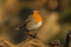 Robin, Erithacus rubecula, cute songbird. Erithacus rubecula, the Robin is a cute bird with a red chest stock photo