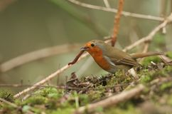 A pretty Robin, Erithacus rubecula, eating an earthworm that it has caught in the undergrowth at the edge of a wooded area. A Robin, Erithacus rubecula, eating stock image