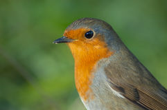 Robin (Erithacus rubecula). With green background Royalty Free Stock Photos