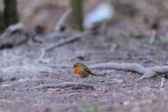 Robin. Erithacus rubecula on ground, Keswick, Cumbria Stock Image