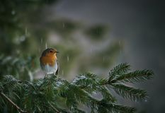 Robin, beautyful bird with reddish-orange face and breast, looking around royalty free stock photos