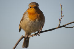 Robin. (Erithacus rubecula) looking at camera from his branch Royalty Free Stock Photo