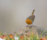 Curious Robin Stock Image