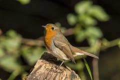 Robin, Erithacus rubecula, netter Singvogel lizenzfreie stockbilder