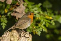 Robin, Erithacus rubecula, netter Singvogel stockbilder