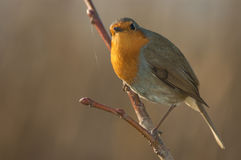 Robin (Erithacus rubecula). Perched on a branch Royalty Free Stock Photo