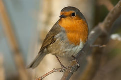 Robin (Erithacus rubecula). Perched on a branch Royalty Free Stock Images