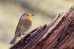 Robin (Erithacus rubecula) Royalty Free Stock Images