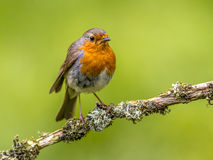 Robin (Erithacus rubecula) perched on a branch Stock Image