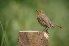 Robin, Erithacus rubecula, perched on a fence post Stock Images