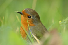 Robin (Erithacus rubecula). Perched in the grass land Stock Photos