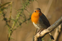 Robin (Erithacus rubecula). Perched in the grass land Royalty Free Stock Images