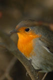 Robin (Erithacus rubecula). Perched in the grass land Royalty Free Stock Photography
