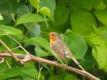 Robin(Erithacus rubecula) Stock Photos
