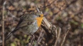 Robin on Wooden Log Looking Right stock images