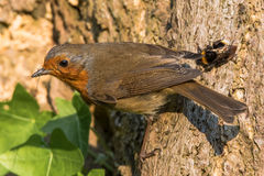 Robin & x28;Erithacus rubecula& x29; with prey in beak Royalty Free Stock Photography