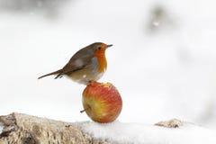 Robin, Erithacus rubecula Stock Photography