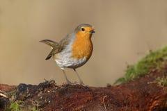 Robin, Erithacus rubecula Stock Photos