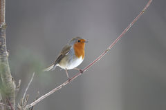 Robin, Erithacus rubecula. Single bird on branch, Warwickshire, February 2013 Royalty Free Stock Images