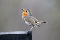 Robin, Erithacus rubecula. Single bird displaying on fence Royalty Free Stock Photography
